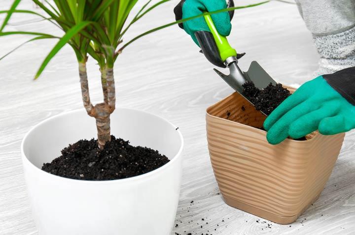 Zimmerpflanzen umtopfen