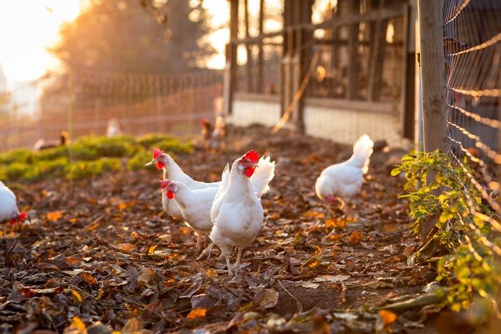 Ausreichend Platz für die Hühner