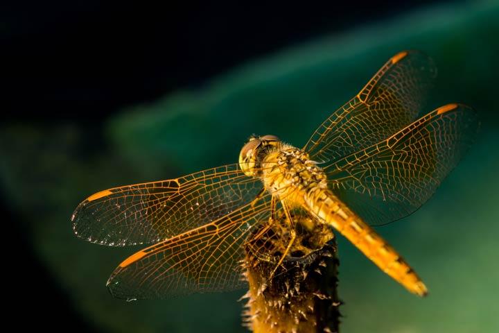 Aussehen der Wanderlibelle