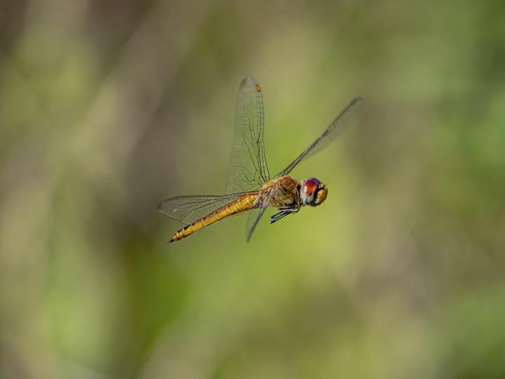 Flugverhalten der Wanderlibelle