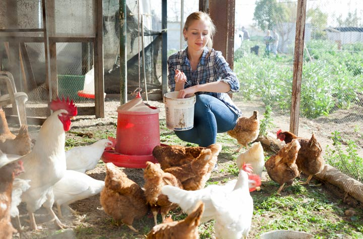 Hühner beschäftigen sich liebend gerne mit Essen