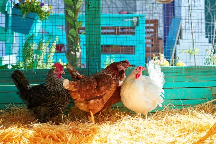 Hühnergehege mit einem stabilen Zaun schützen