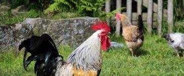 Hühnerhaltung für Anfänger