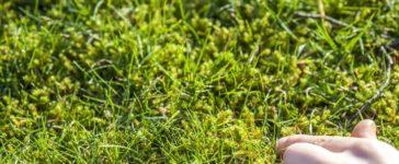 Moos im Rasen effektiv bekämpfen