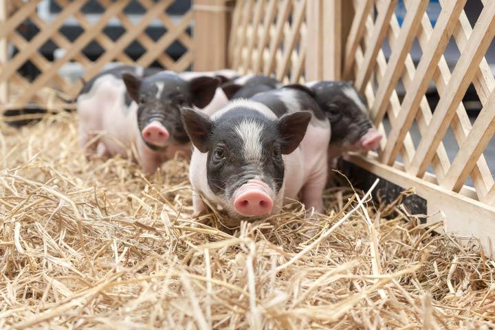 Laufbereich für Minischweine