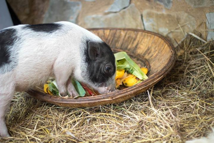 Minischwein Futter