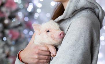 Minischwein als Haustier