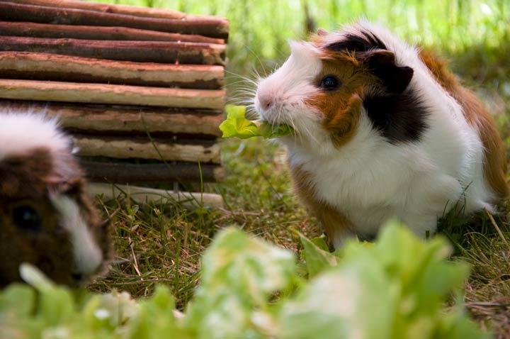 Meerschweinchen frisst Römersalat