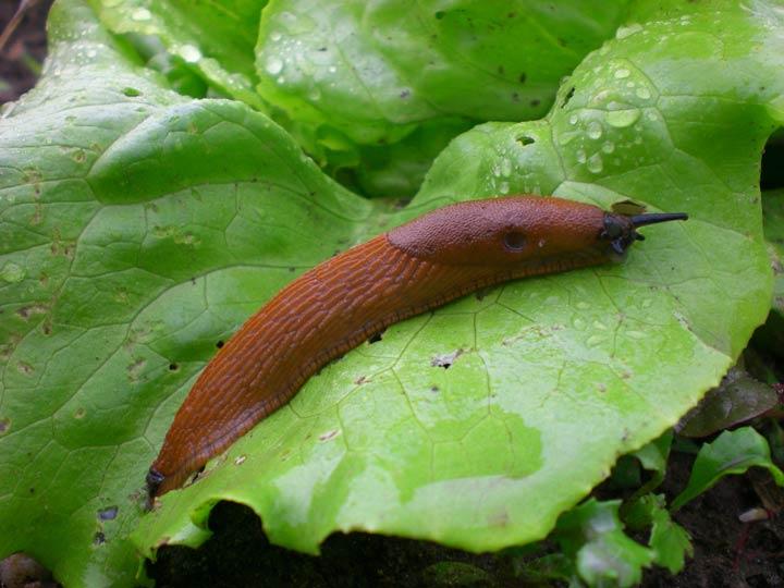 Schnecken fressen organisches Material