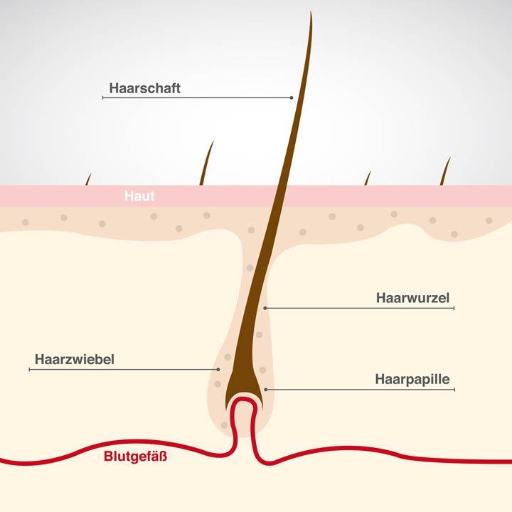 Aufbau Haar