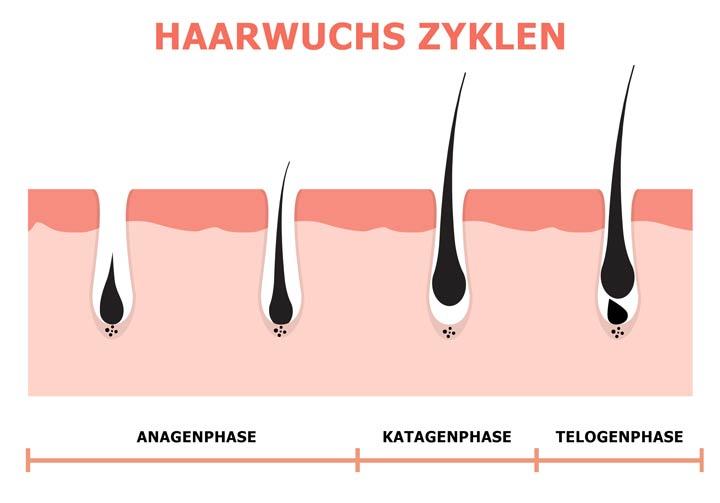 Haarwuchs Zyklen